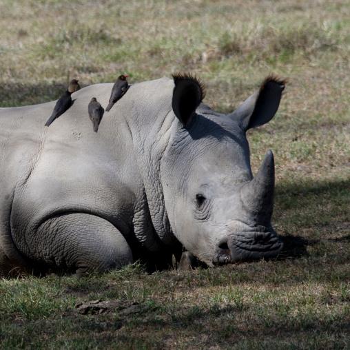 White rhino resting with birds on him, Rift Valley Province, Lake Nakuru, Kenya