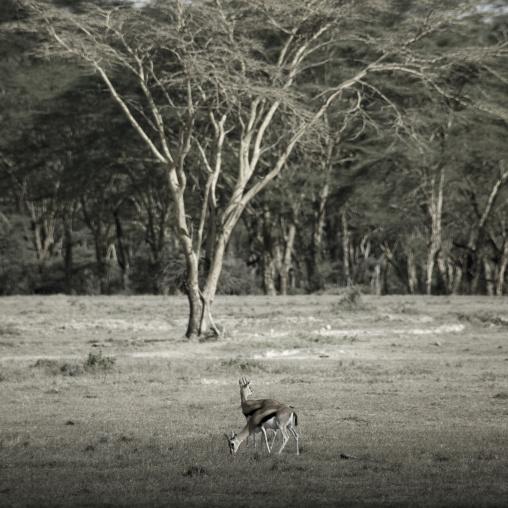 Gazelles, Kenya