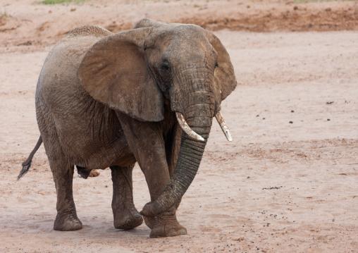 Elephant, Kenya