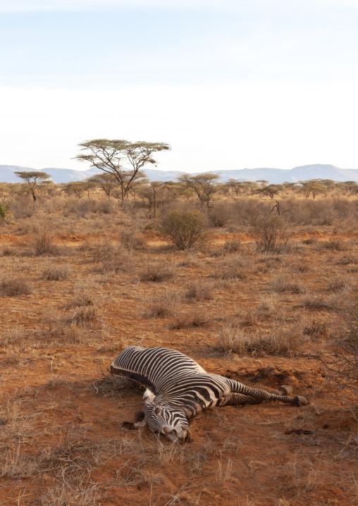Dead zebra in the bush, Rift Valley Province, Maasai Mara, Kenya