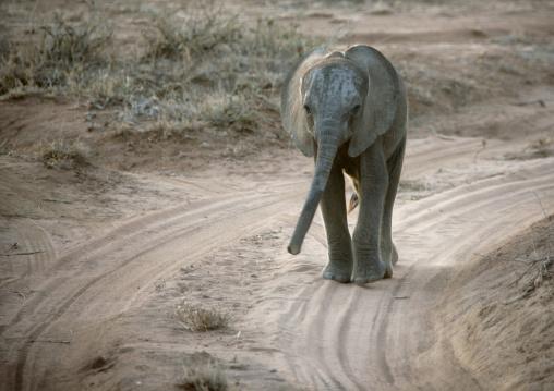 Baby african elephant (loxodonta africana) walking on a track, Rift Valley Province, Maasai Mara, Kenya