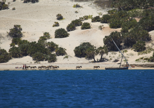 Donkey caravan with dhow coats of shela lamu, Kenya