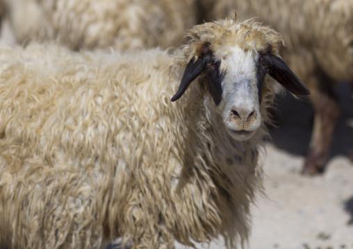 Sheep, Azaban, Kurdistan, Iraq