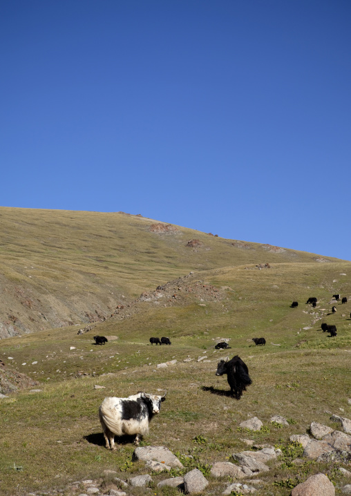 Yaks In The Steppe, Song Kol Lake Area, Kyrgyzstan