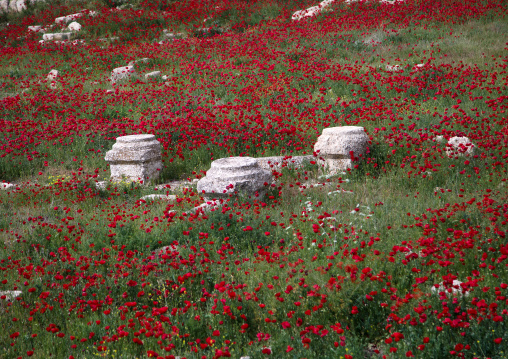 Field full of poppies and ruins, Beqaa Governorate, Baalbek, Lebanon