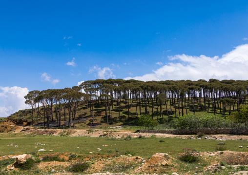 Pine forest, Nabatiyeh Governorate, Nabatiyeh, Lebanon