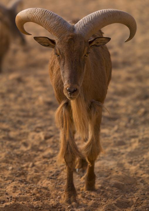 Barbary sheep in the desert, Tripolitania, Ghadames, Libya