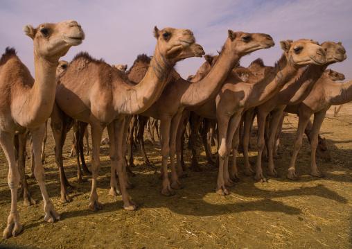 Camels in desert, Fezzan, Umm al-Maa, Libya