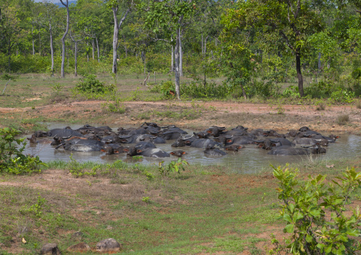 Buffalos having a mud bath, Phonsaad, Laos