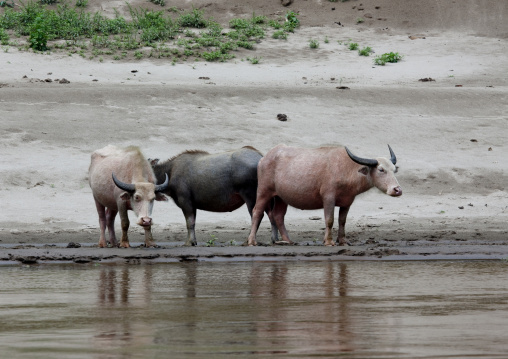 Albino buffalos on mekong river, Houei xay, Laos