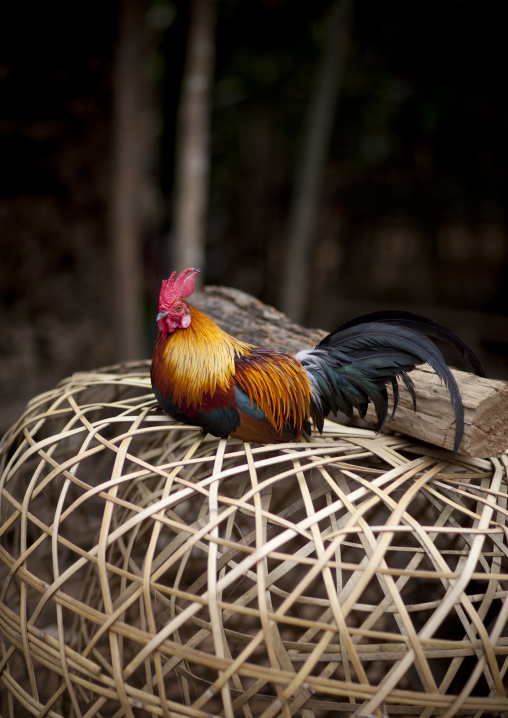 Rooster on a cage, Muang sing, Laos