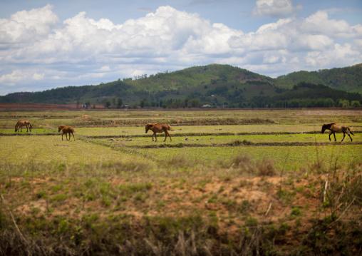 Horses in a field, Phonsavan, Laos
