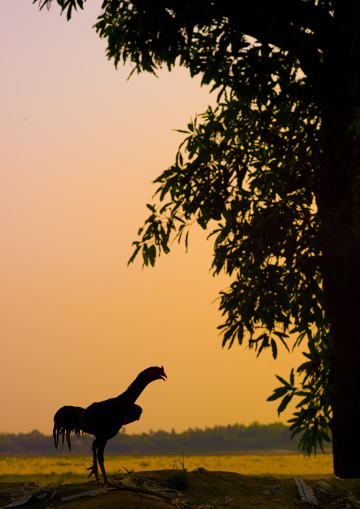 Chicken in front of mekong river, Vientiane, Laos