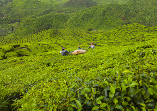 Workers In A Tea Plantation, Cameron Highlands, Malaysia