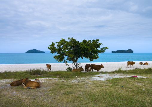 Cows On A Beach, Langkawi, Malaysia