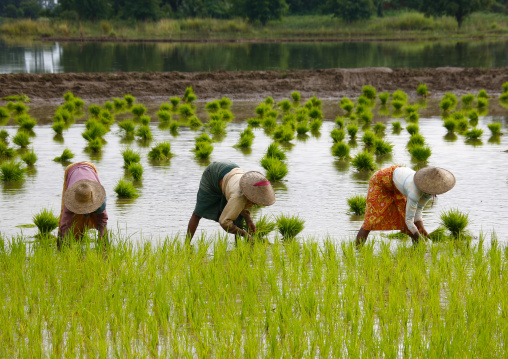 Women working in a paddy field in innwa, Myanmar