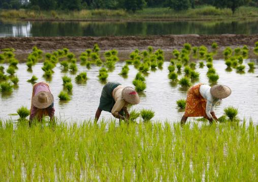 Women Working In A Paddy Field In Innwa, Myanmar