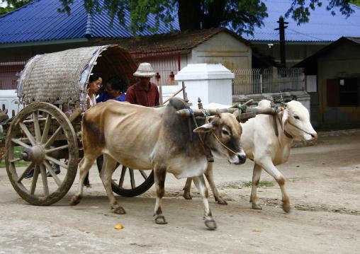 Man Driving Bullock Cart In Mandalay, Myanmar