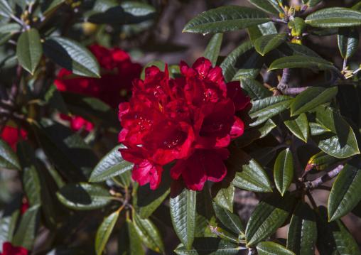 Rhododendrons Flowers, Mindat, Myanmar