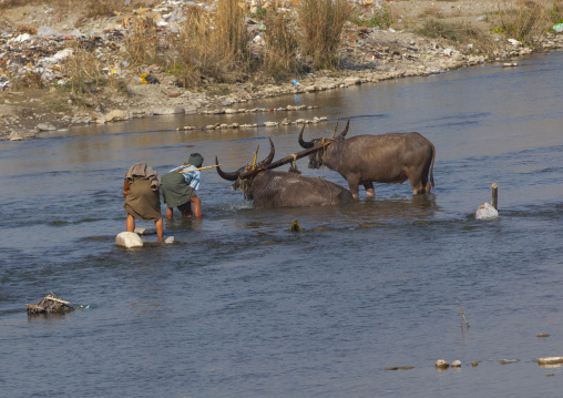 Men washing buffalos in a river, Mindat, Myanmar