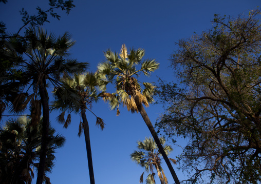 Palm Trees In Epupa, Namibia