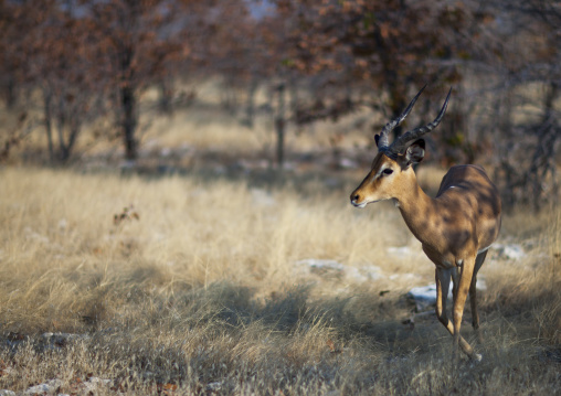 Springbock, Etosha, Namibia