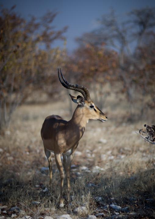 Impala In Etosha National Park, Namibia