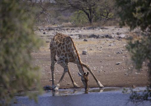 Giraffe Drinking, Etosha National Park, Namibia