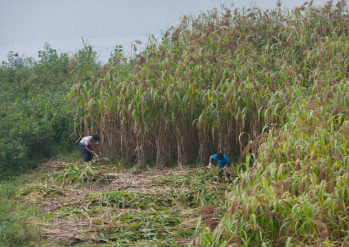 North Korean farmers working in a field, Pyongan Province, Pyongyang, North Korea