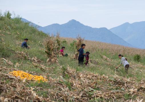 North Korean people harvesting corns in a field, South Hamgyong Province, Hamhung, North Korea