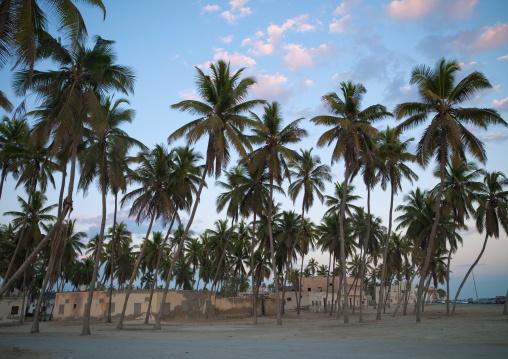 Palm Trees In Salalah, Oman