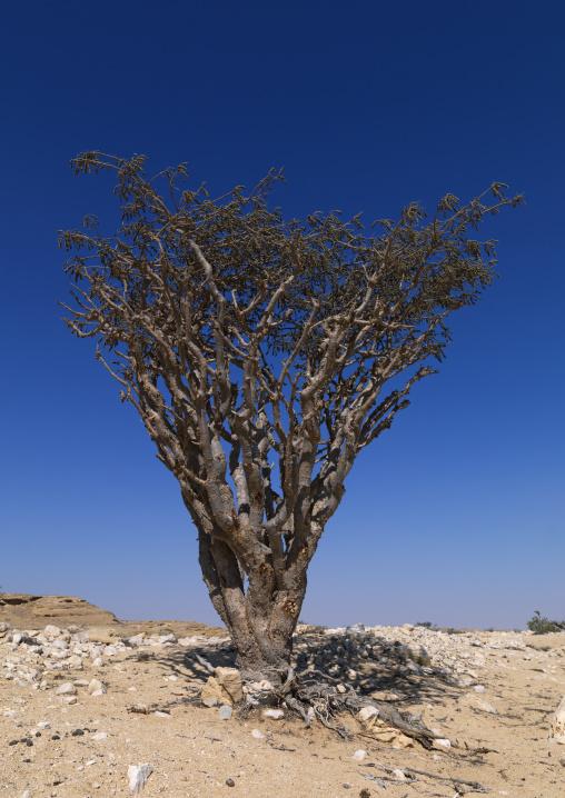 Frankincense Tree Living In Rock Land, Wadi Dawkah, Oman