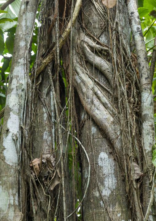 Panama, Darien Province, Filo Del Tallo, Vines Wrapped Around A Tree In Darien National Park