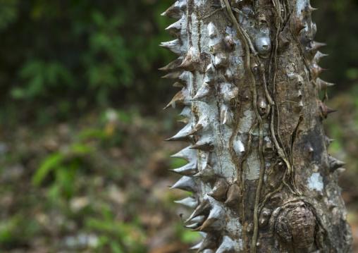 Panama, Darien Province, Filo Del Tallo, Sharp Thorns On A Tree In Darien National Park