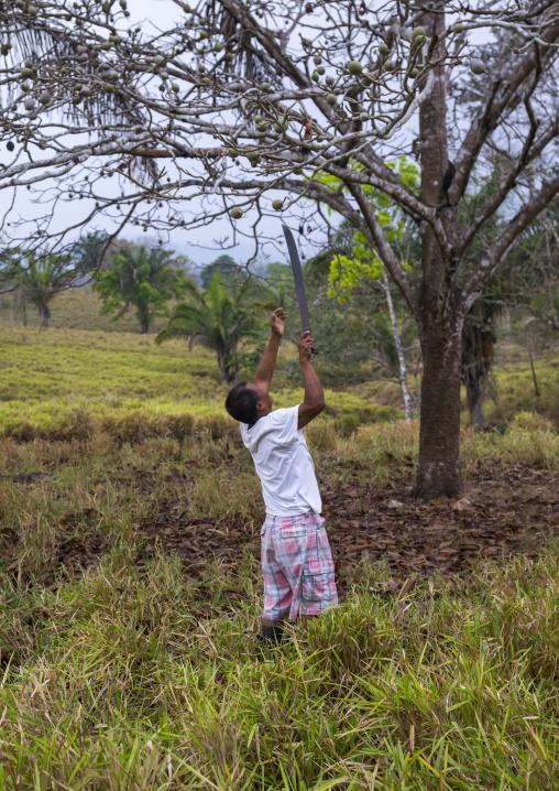 Panama, Darien Province, Filo Del Tallo, Embera Man Collecting Fruits Used To Dye Clothes In Filo Del Tallo