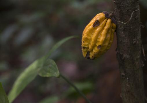 Panama, Darien Province, Filo Del Tallo, Wild Cocoa Pods On A Tree In The Jungle In Filo Del Tallo