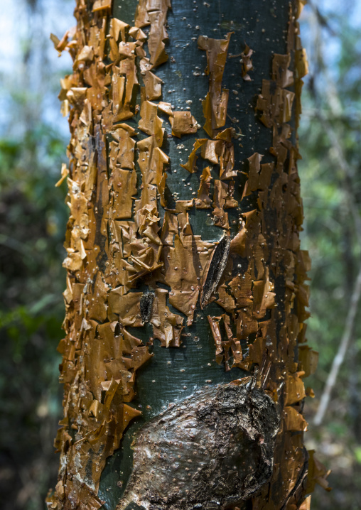 Panama, Darien Province, Filo Del Tallo, Tree Bark In Filo Del Tallo Park Used As Soap By Embera Tribe