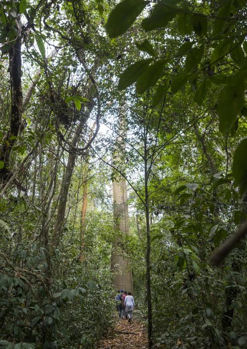 Panama, Darien Province, Filo Del Tallo, Tourists Passing In Front Of A Cuipo Giant Tree In Filo Del Tallo