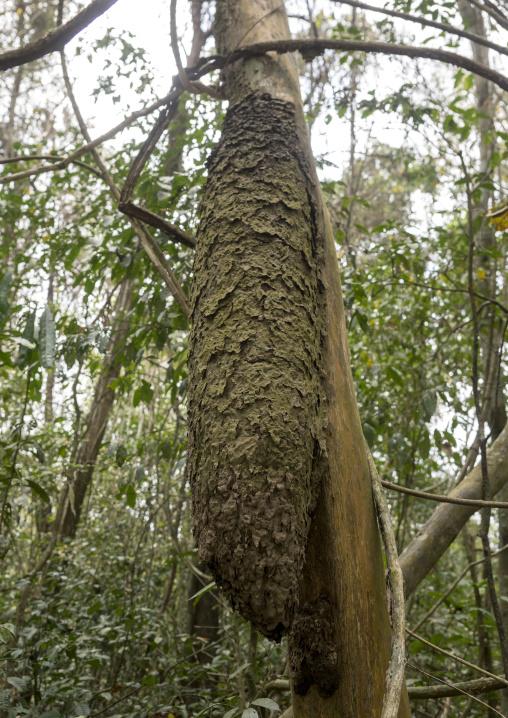 Panama, Darien Province, Filo Del Tallo, Anthill In A Tree In Filo Del Tallo