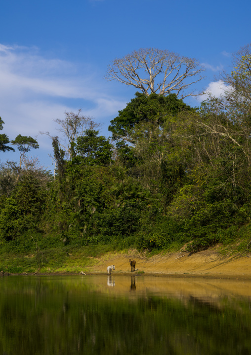 Panama, Darien Province, Alto Playona, Horses On Río Chucunaque Riverbanks