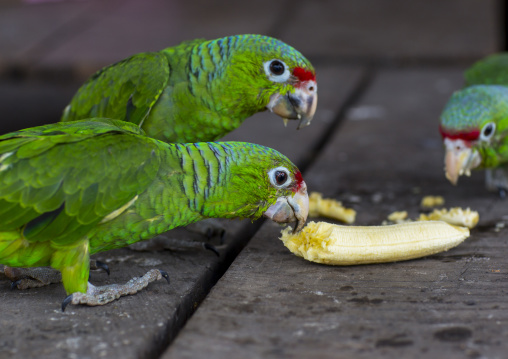 Panama, Darien Province, Puerta Lara, Green Parrots Eating Banana In Wounaan Tribe