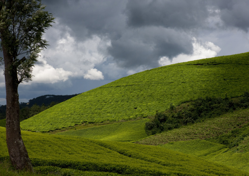 Tea plantations in gisakura village - rwanda