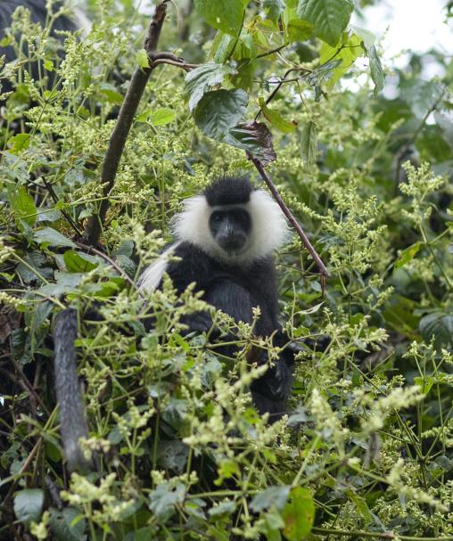 Allochrocebus lhoesti monkey in a tree, Nyungwe Forest National Park, Gisakura, Rwanda