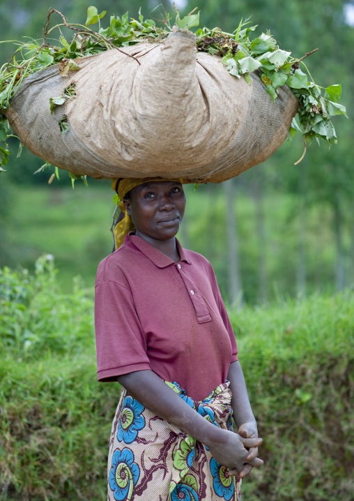 Rwandan woman working in a tea plantation, Western Province, Cyamudongo, Rwanda