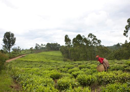 Tea plantation in cyamudongo area - rwanda