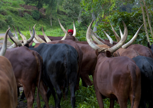 Cows with long horns in the forest, Western Province, Cyamudongo, Rwanda