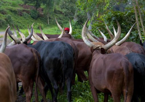 Beef in cyamudongo area - rwanda