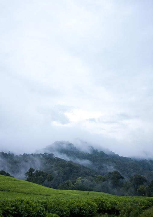 Tea plantations in cyamudongo area - rwanda