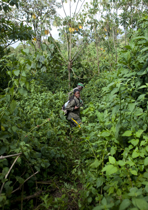 Guide in the jungle of the volcanoes national park, Northwest Province, Rehengeri, Rwanda