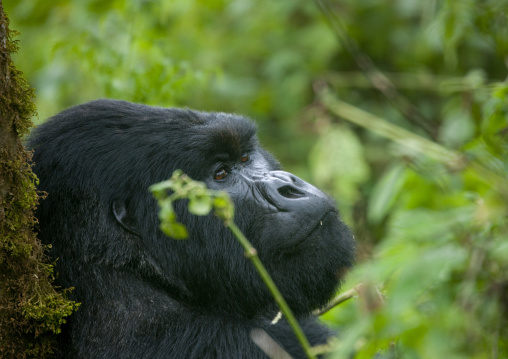 Gorilla head in the jungle of the volcanoes national park, Northwest Province, Rehengeri, Rwanda